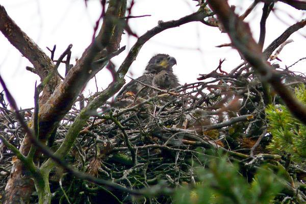Гнездо орлана-белохвоста.