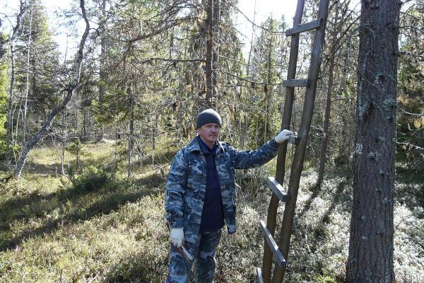 Отбор образцов хвои. А.Н. Соболев. 2011 год.